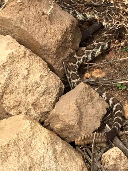 A rattlesnake (hashtag nature)
